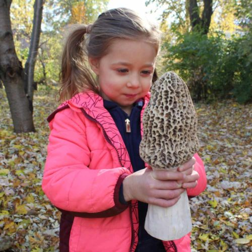 Giant Morel Mushroom