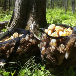 Giant Morel Mushrooms