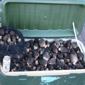 Cooler Filled With Black Morels