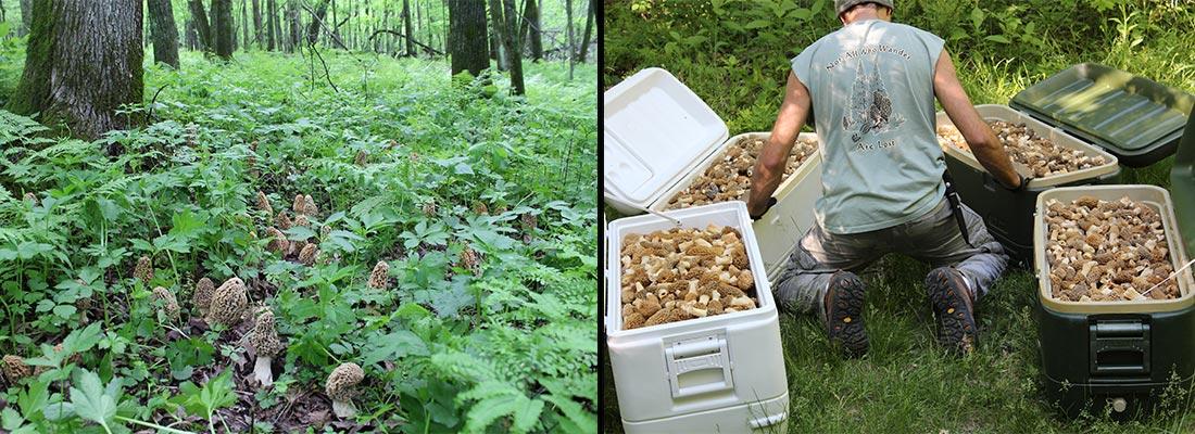 morel mushroom motherlode