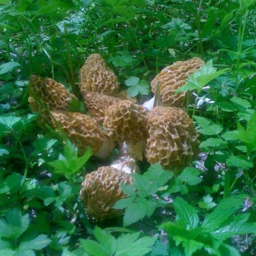 Morchella Esculenta Clumps