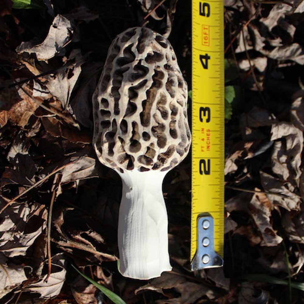 Morel Mushroom Carving
