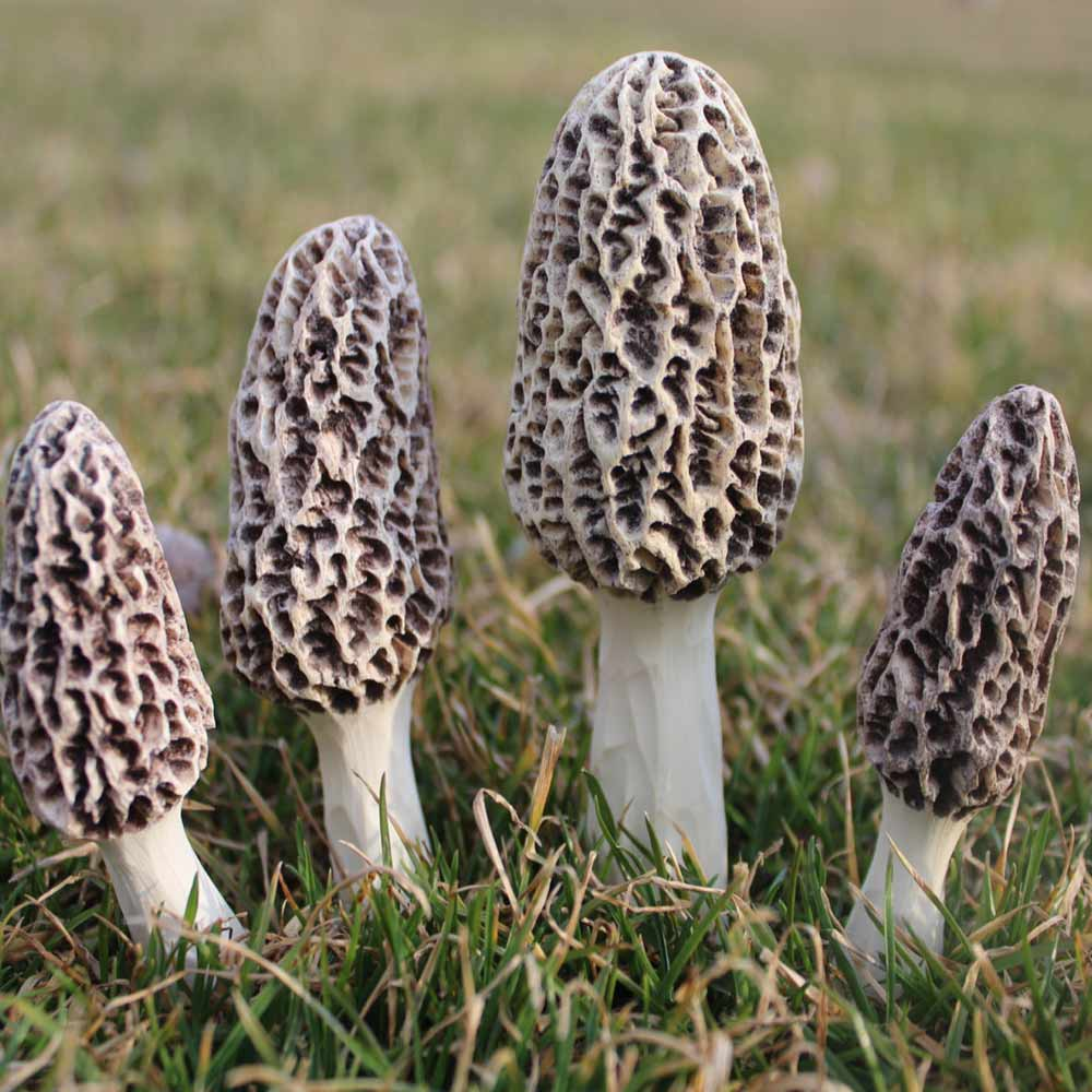 Morel Mushrooms For Landscape